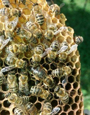 Пчелинные Матки f1 Бакфаст Австрия 2021 года Предлагаю Мічені