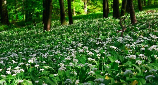 Czosnek niedźwiedzi cebule liście sadzonki WYSYŁKA eko