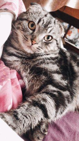 Вісловухий шотландець шукає кішечку на в'язку
