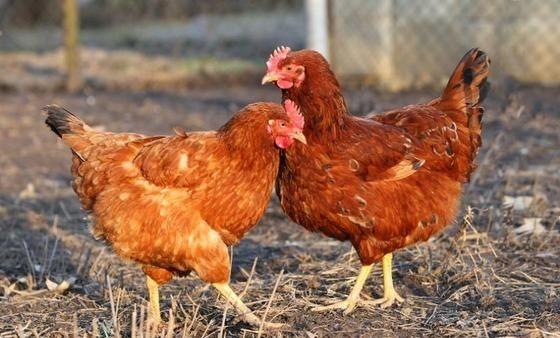 Kurki odchowane kury brojlery nioski młode kurczaki Lubartów