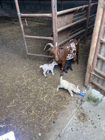 Cabra com 3 crias