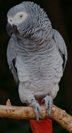 Zaginęła  Papuga Żako