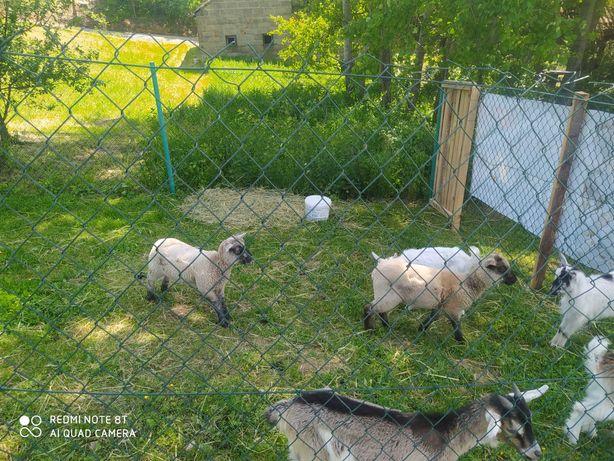 Dwie owieczki czarnogłówki