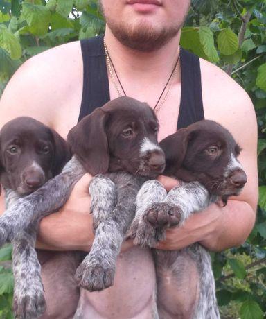 Продам щенков дратхаара