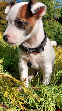 Jack Russell Terrier piesek Axel rodzice ZKwP FCi