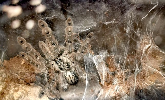 Ptasznik Heteroscodra maculata