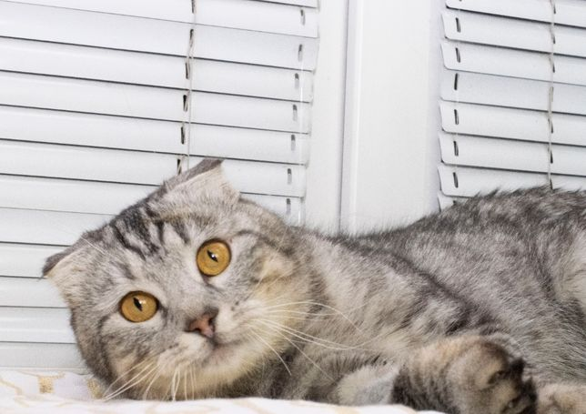 Красивый крупный Шотландский котик Шон ( 1-3 года)кастрирован