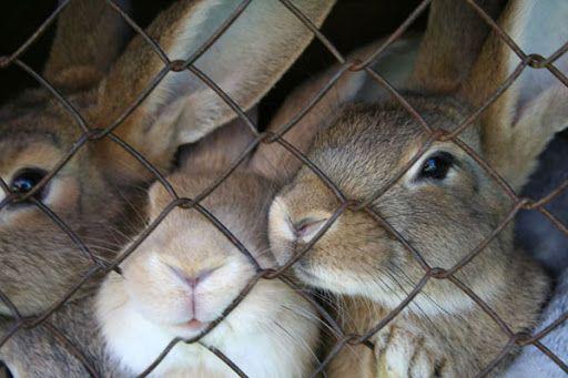 króliki cztero miesięczne nowozelandzkie