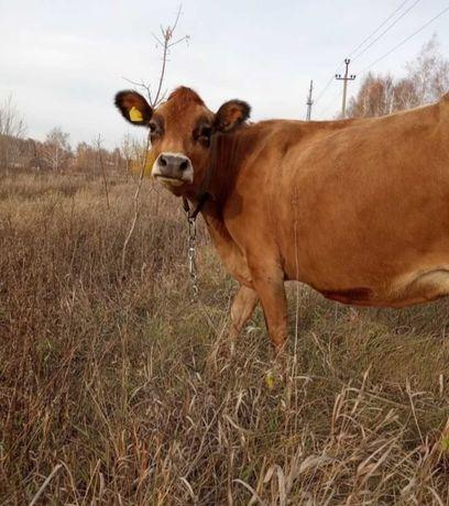 Продам молочну Корову Джерсейської породи