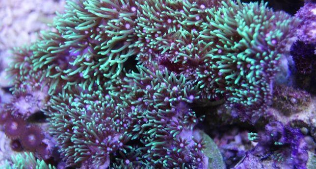 Pachyclavularia violacea, akwarium morskie