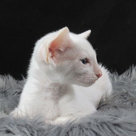DAISY Bella Bitis*PL koteczka peterbald, jak biały syjam/ orient