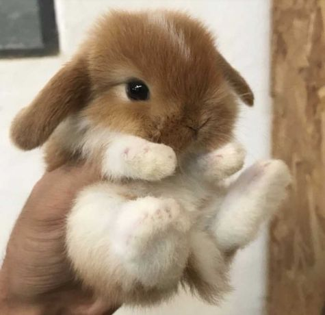 KIT completo coelhos anões mini orelhudos