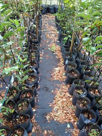 Продаємо вирощені щепи плодових дерев