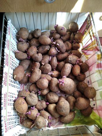 Картопля для скота