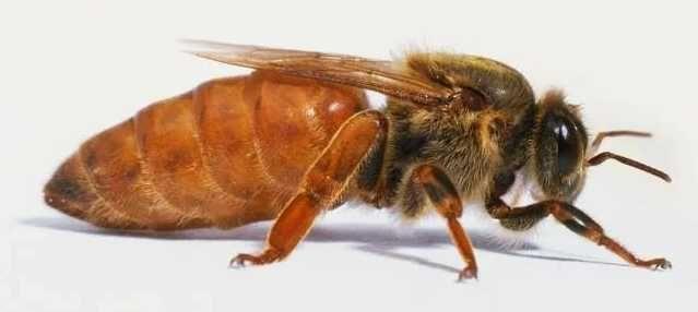 Пчелиные матки Бакфаст и Американский Кордован