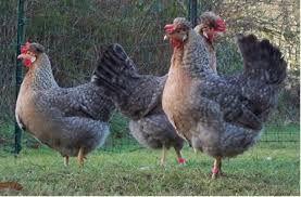 Kurki młode Nioski kury z jajkiem z wybiegu zaszczepione Rosa Lekhorn