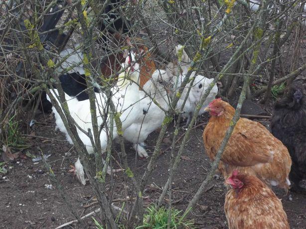 kury kurczaki koguty mieszanka silki brahmy i rossy