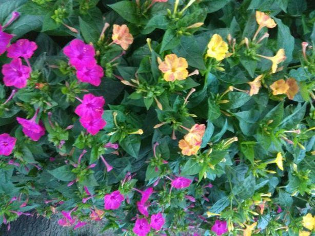 Dziwaczek jalapa dziwaczek peruwiański nasiona nasionka kwiaty ozdobne
