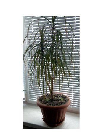 Драцена трехствольная комнатное растение