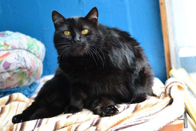 красива кругломорда чорна кішка в пошуках домівки 3р
