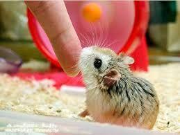 Чудо маленькие хомячки в продаже