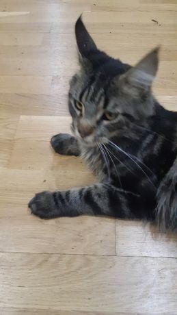 Красавец котик  Мейн-Кун