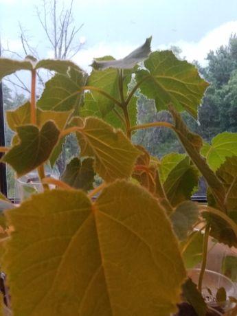 Павловния,адамовое дерево, саженцы