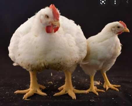 бройлер Росс-308. свіжі інкубаційні яйця
