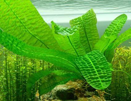 aponogeton boivinianus/rośliny akwariowe/roślina