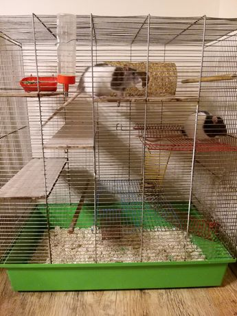 Sprzedam dwa szczury domowe razem z klatką.