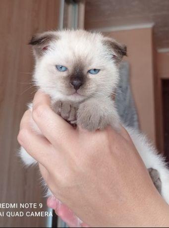 Продам котят вислоухих скотиш фолд