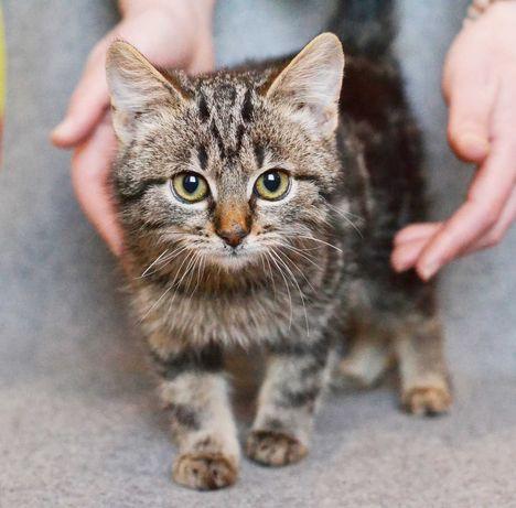 Невеличкий котик, сірий і смугастий Цезар у пошуках рідних!