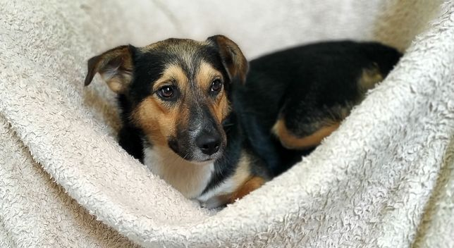3 lata, 12 kg, indywidualista, do innego psa, IKAR do adopcji