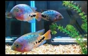 Pielęgnica vieja synspilum blue spotted -8-9cm