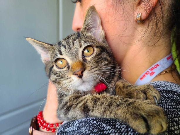 Смугасте кошеня-дівчинка Бель (3 міс.) шукає дім. Киця в добрі руки