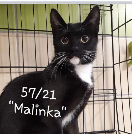Znaleziona czarna kotka z białym krawacikiem i skarpetkami