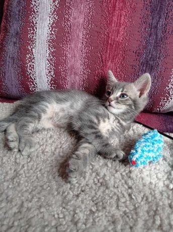 Пепельный котенок- мальчик 1.5 месяца