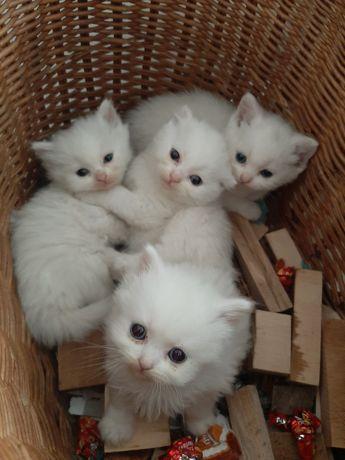 Шотланські котики