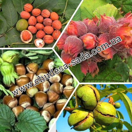Саженцы лещины, фундук, грецкий орех, крупноплодные сорта опт и розн
