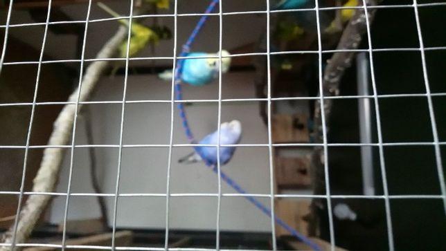 Papugi faliste z własnej hodowli