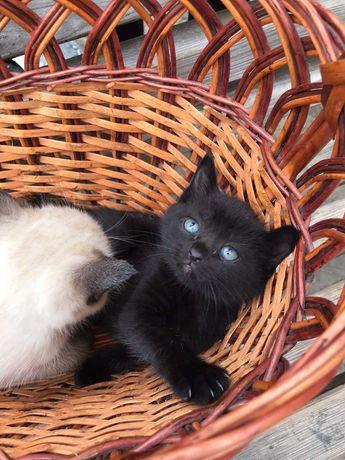 Котенок от сиамского котика