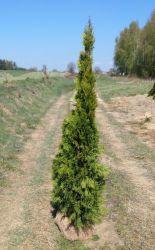 Tuja na żywopłot Tuja szmaragd 175-200cm Balot Darmowa dostawa Suwałki