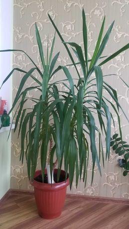 Продам Растение Юкка