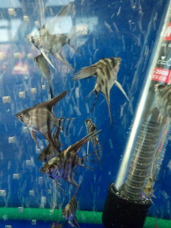 Продам акваріумних рибок