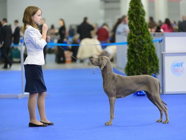 Подготовка собак к выставкам, хендлер для выставок