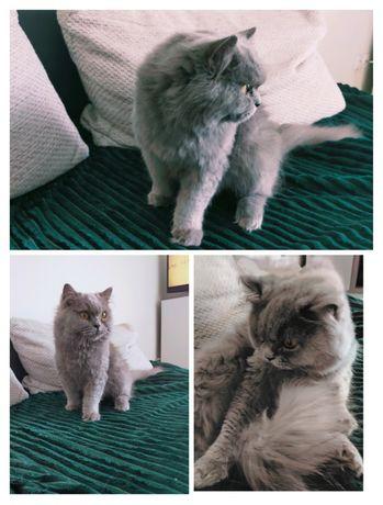 Kotka długowłosa