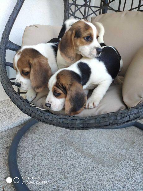 Ternura de Beagle tricolor