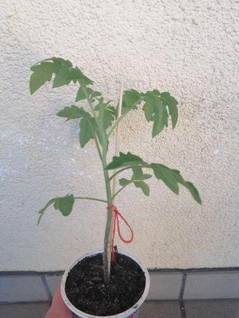 Sadzonki pomidorów różne odmiany uprawa własna ekologiczna do ogrodu