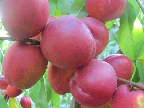 ,саженцы плодовых деревьев