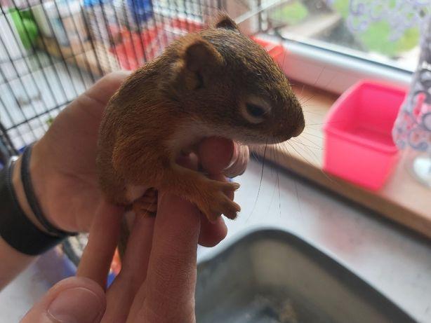 Wiewiórki wiewiórka hudson oswojona GOTOWE DO ODBIORU !!!